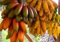 druhy_bananu