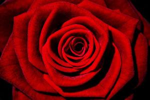 růže jako symbol ženství