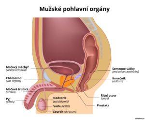 anatomie mužských pohlavních orgánů