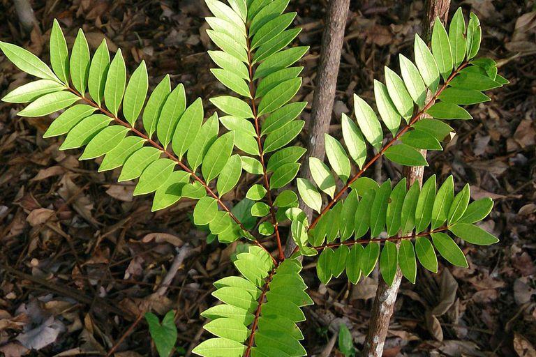rostlina tongkat ali