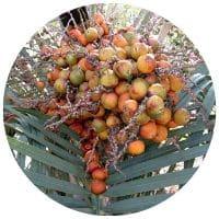 čerstvé plody Saw palmetto